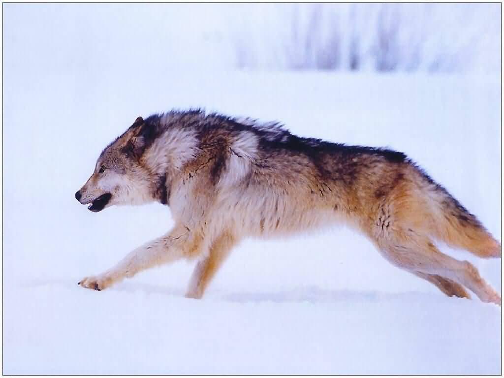 f_wolves99_11_s 1024x7681